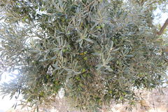 Olive tree with green olives among the summer leaves Stock Images