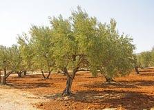 Olive Tree grega na ilha da Creta fotos de stock