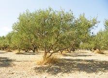 Olive Tree grega na ilha da Creta imagens de stock