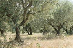 Olive tree in a grove Stock Image