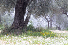 Olive Tree Grove Stock Photos