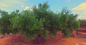 Olive tree in grove. Olive tree growth in olive grove. Before harvest. Green tree for background stock video