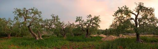Olive tree grove panorama Stock Photo