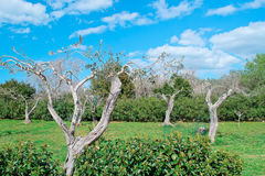 Olive tree grove Royalty Free Stock Images