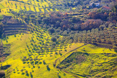 Olive tree grove Royalty Free Stock Photography