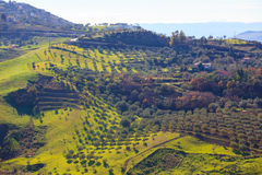Olive tree grove Stock Images
