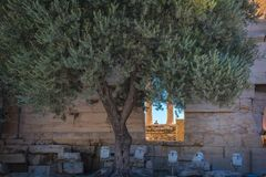 Olive tree growing by the walls of Parthenon, Acropolis of Athen stock photos