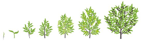 Olive tree growth stages. Vector illustration. Ripening period progression. Olive black tree life cycle animation plant seedling. Olive tree growth stages royalty free illustration