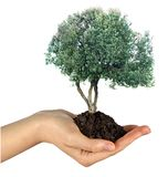 Olive tree in hand. As a gift Royalty Free Stock Images