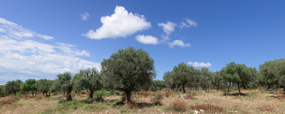 Olive tree in a hill of Apulia Italy Royalty Free Stock Photography