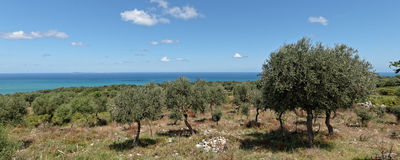 Olive tree in a hill of Apulia Italy Stock Image