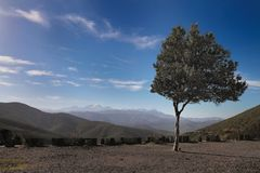 Olive tree on the hill, Corsica Royalty Free Stock Image