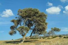 Olive Tree idosa bonita na região de Akamas de Chipre do sul fotografia de stock