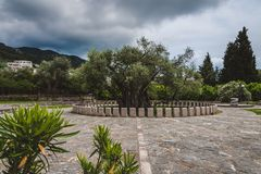 Olive Tree idosa na barra velha, Montenegro imagem de stock royalty free