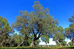 Olive tree. Impressive olives trees stand on a blue sky stock images