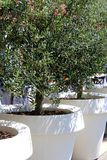 Olive Tree In Flower Pot Stock Photos