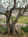 An olive tree with interesting roots in Croatia Royalty Free Stock Photography