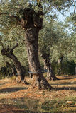 Olive tree irrigation Stock Image