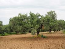 Olive Tree On The Island Of Crete Royalty Free Stock Images