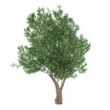 Olive Tree isolated. Olea europaea Royalty Free Stock Images
