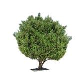 Olive tree isolated on white background Royalty Free Stock Image