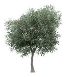 Olive tree isolated on white vector illustration