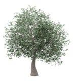 Olive tree isolated on white stock photography
