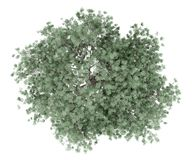 Olive tree isolated on white. top view royalty free stock images