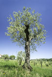Olive tree in Italy Stock Photos