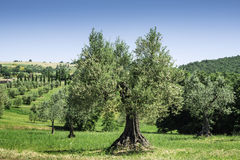 Olive tree in Italy Stock Photo