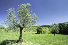 Olive tree in Italy Stock Images