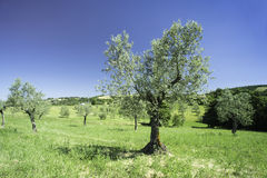 Olive tree in Italy Royalty Free Stock Photo