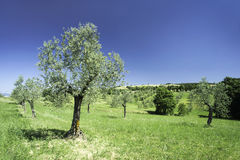 Olive tree in Italy Stock Image