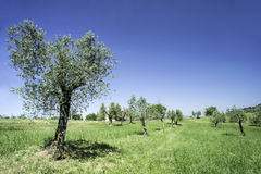 Olive tree in Italy Royalty Free Stock Photography