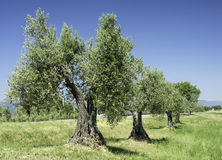 Olive tree in Italy Royalty Free Stock Images