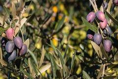 Olive tree with kalamata olives. Olive tree with ripening kalamata olives royalty free stock photo