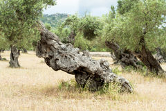 Olive Tree with knobby Trunk Stock Photography