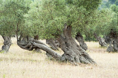 Olive Tree with knobby Trunk Stock Images