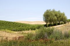 Olive Tree Landscape Stock Photography