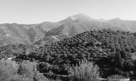 Olive tree landscape. Cretan landscape with olive oil trees. Black & white. Fodele. Crete. Greece Stock Photography