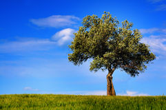 Olive tree landscape. Olive tree over green meadow and blue sky royalty free stock photo