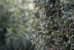 Olive tree leaves Royalty Free Stock Image