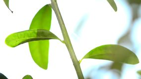 Olive tree, leaves. In backlight stock video