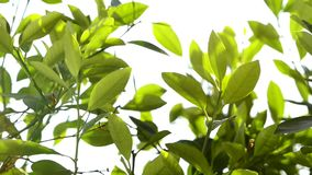 Olive tree, leaves. In backlight stock video footage