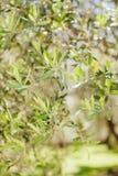 Olive tree leaves Stock Photo