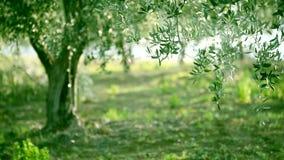 Olive tree leaves stock footage