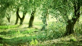 Olive tree leaves. Olive green tree growing in the garden, natural sunny background. HD 1080 stock footage