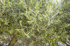 Olive tree leaves Royalty Free Stock Photography