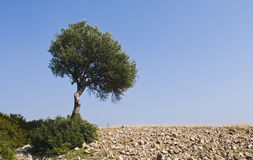Lonely Olive tree Stock Photo