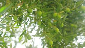 Rich harvest of olives. Tree with green fruits. Olive tree with lots of green fruits on branches against sun light. Agriculture and cultivation stock footage